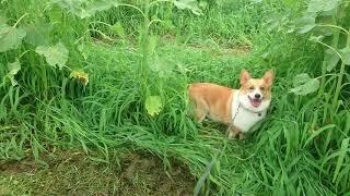 コーギーの小太郎です。 ひまわり畑の迷路で一緒に迷子になりましょう^...