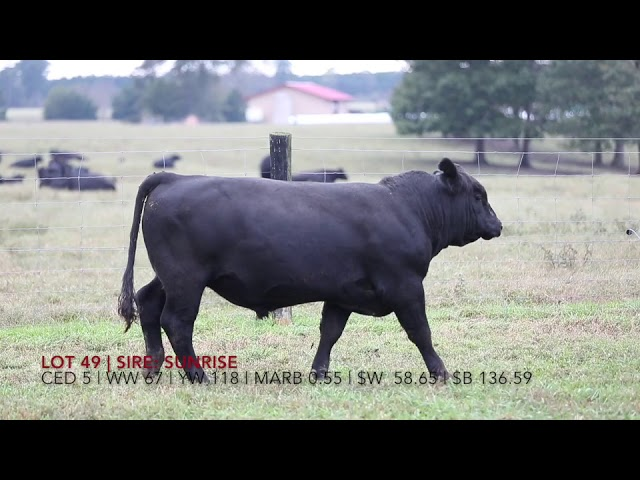 Edgewood Angus Lot 49
