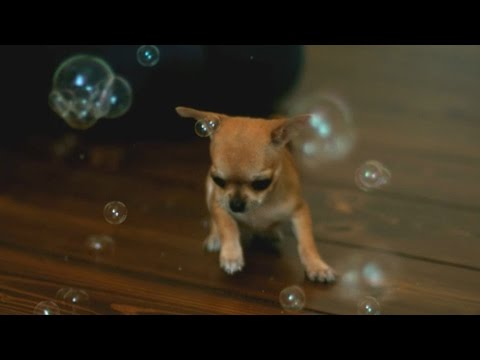 Chihuahua Catches Bubbles - Sweet Slow Motion
