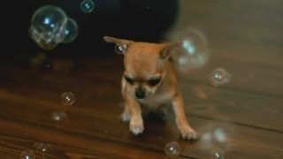 Chihuahua Bubbles - Some Cute Slow Motion