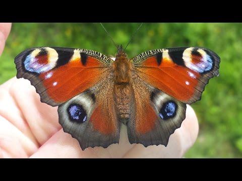 Von Der Raupe Zum Schmetterling, Tagpfauenauge