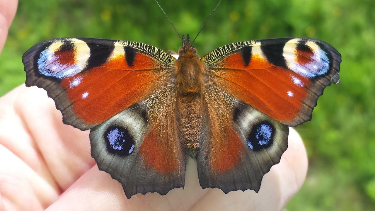 www.schmetterling