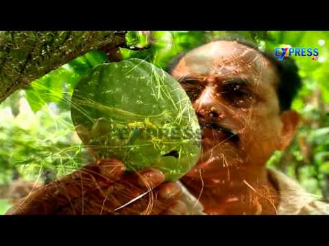 Successful organic farming of Cocoa as Intercrop in Oilpalm by Achanta Sivarama Krishna - Express TV