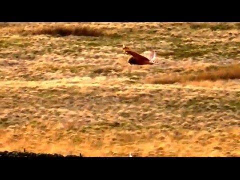 Hen Harrier meets Short eared owl