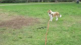 Collie Puppy Dog Practices Come, Coming, Recall, Training, Obedience