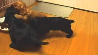 イングリッシュコッカースパニエル アイの子犬達が可愛くなってきました...