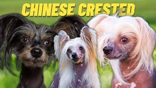 CHINESE CRESTED  Top 10 FACTS and Things To Know about the CHINESE CRESTED