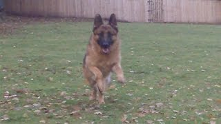 Gsd Rocko At A & B Dogs Boarding & Training Kennels.