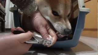 柴犬_怕剪指甲.