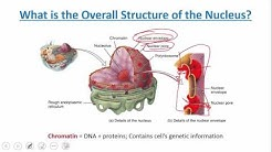 Cellular Level of Organization:  Cytoplasm and Nucleus