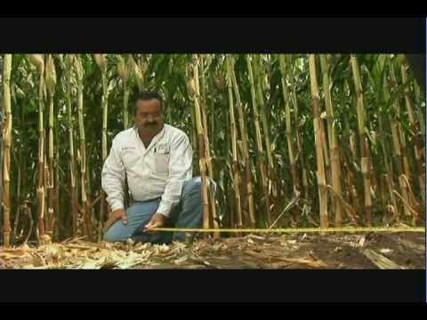 Validación de métodos de siembra para alta productividad de maíz en el norte de Sinaloa (3/4)
