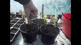 How to Propagate Forsythia from Softwood Cuttings
