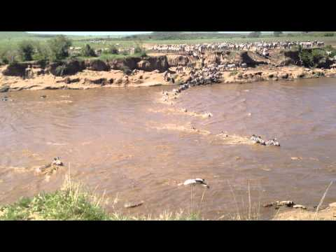 Crocodiles Attack Zebras Crossing the Mara River | Kenya