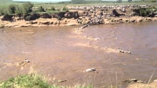 Crocodiles Attack Zebras Crossing the Mara River | Kenya