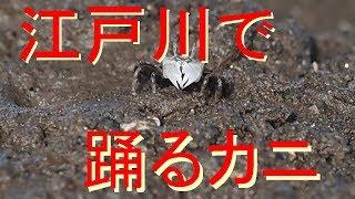 201706 江戸川で踊るカニ thumbnail