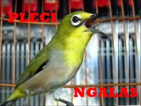 Suara Burung Pleci Ngalas Masteran Burung Pleci Ngalas 1