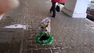 Собака-собирака ) (снято в Костроме)