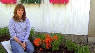 видео Азалия японская садовая - посадка и уход, выращивание