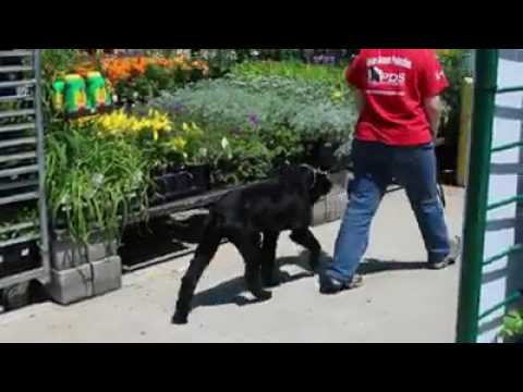 "Outdoor Training Off Sight W/Giant Schnauzer ""Schnapps"" 19 Mo's Obedience Dog For Sale"