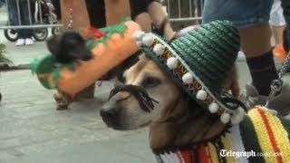 Annual sausage dog parade held in Poland