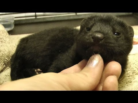 Meet the Domesticated Mink ~ I'm not a coat! ~ CUTE EXPLOSION