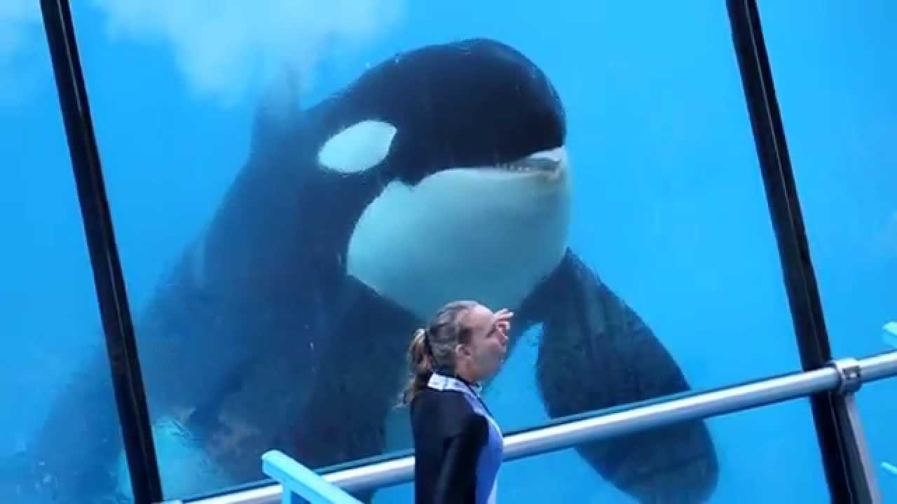 Killer Whale Hd Wallpaper Marineland Antibes Lindsay Amp Valentin Youtube
