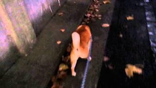 柴犬 スペックの散歩 尼崎城内