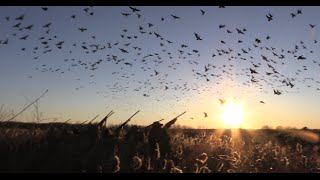 CRUSHING 72 Lesser Canada Geese. Hunting with Tony Vandemore & Habitat Flats in Saskatchewan