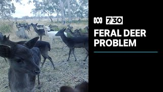 Deer populations are increasing and causing major problems for farmers | 7.30