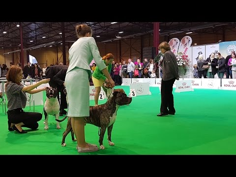 American Staffordshire Terrier. Part 3 of 3. ZooExpo 2016 FCI CACIB Dog Show