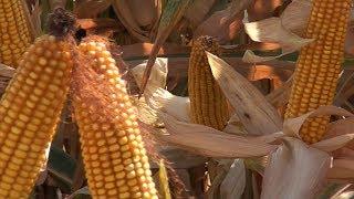 BICIE REKORDU w zawartości energii w kiszonce z kukurydzy
