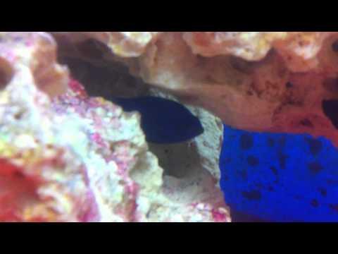 Yellow Tail Damsel Egg Laying
