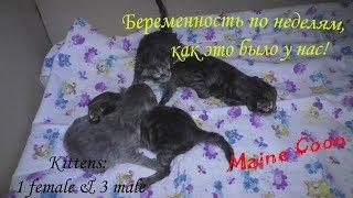 беременность кошек по неделям, наш опыт / сколько мы родим малышей?