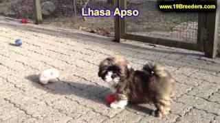 Lhasa Apso, Welpen, Für, Verkauf, In, Berlin, Deutschland, Hamburg, München, Köln