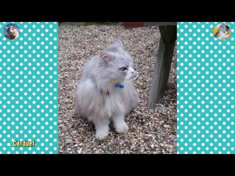 Casper, Chinchilla Silver X Ragdoll, Walking Towards me in the Garden 22 05 16