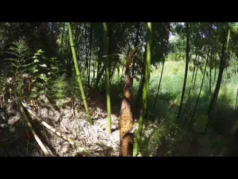 Bamboe timelapse 2016 Netl de Wildste tuin