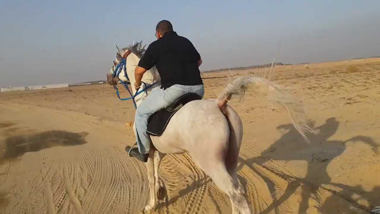 Arabian Horse Images fastest arabian egypti...