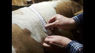 Обмеры и привесы быков