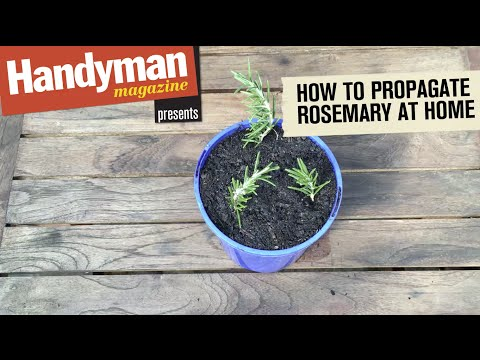 Do it yourself - How To Grow Rosemary From Cuttings