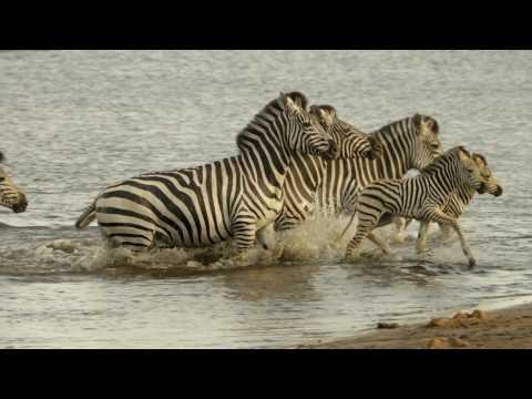 Nature's Epic Journeys - Zebra