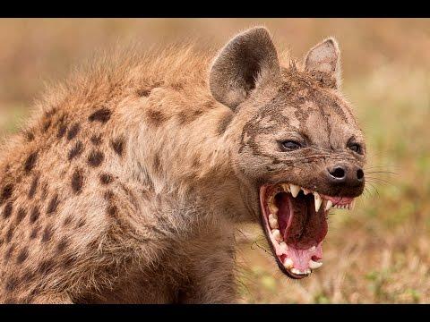 Дикая природа Ночные охотники банды гиен National Geographic Wild