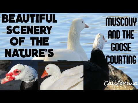 DOMESTIC GOOSE AND THE MUSCOVY DUCK //COURTSHIP //RELAXATION MIND AND STRESS RELIEVER //CALIFORNIA