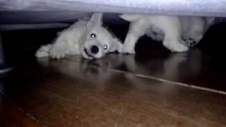 Westie Puppies - Alex E Katy #7