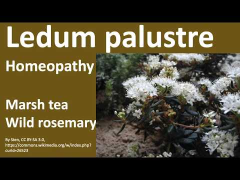 17 Homeopathy Medicine, Homeopathic Remedies - Ledum palustre (Marsh tea, Wild rosemary)