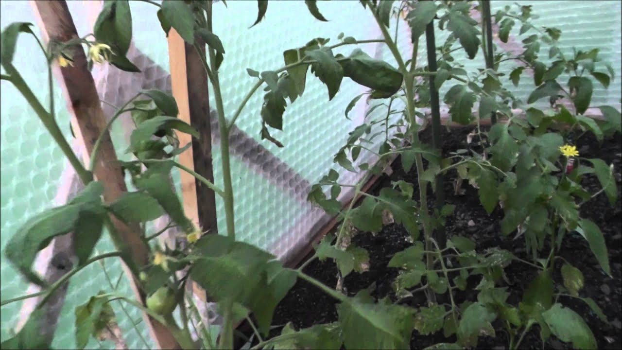 chili tomaten und paprika im gew chshaus youtube