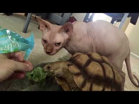 Goodbye to our Baby Sphynx