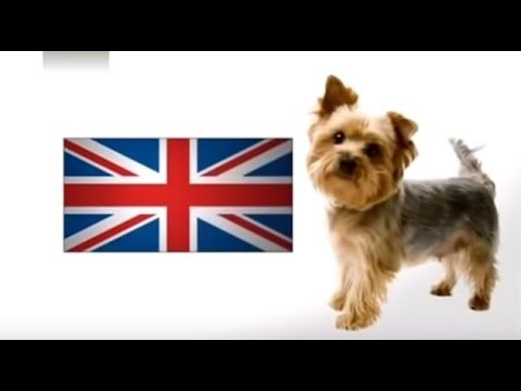 About Yorkie Terriers 101 Dogs