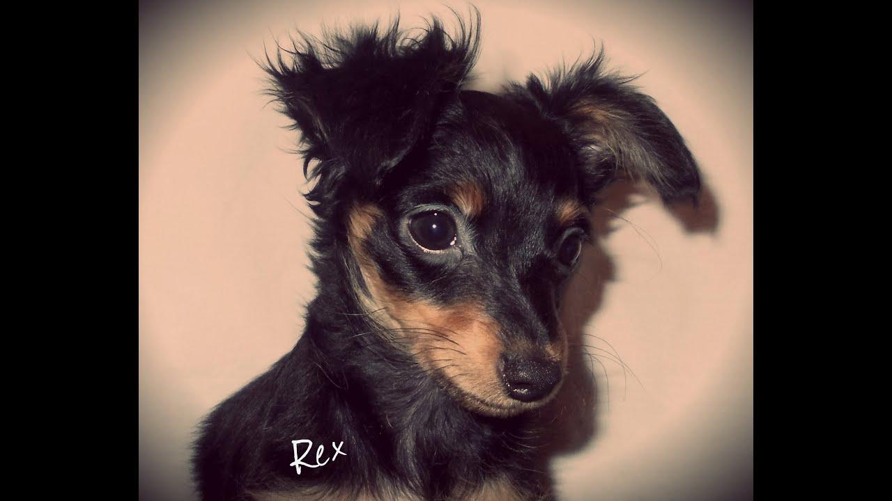 Ratter Dog For Sale