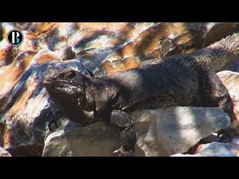 Juchitán consumirá 500 iguanas diarias durante Semana Santa