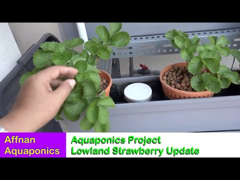 Affnan's Aquaponics - Lowland Strawberry Update 26 August 2017
